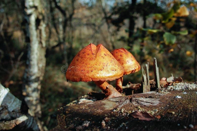 在桦树残余部分的两个蘑菇在秋天森林里 库存照片