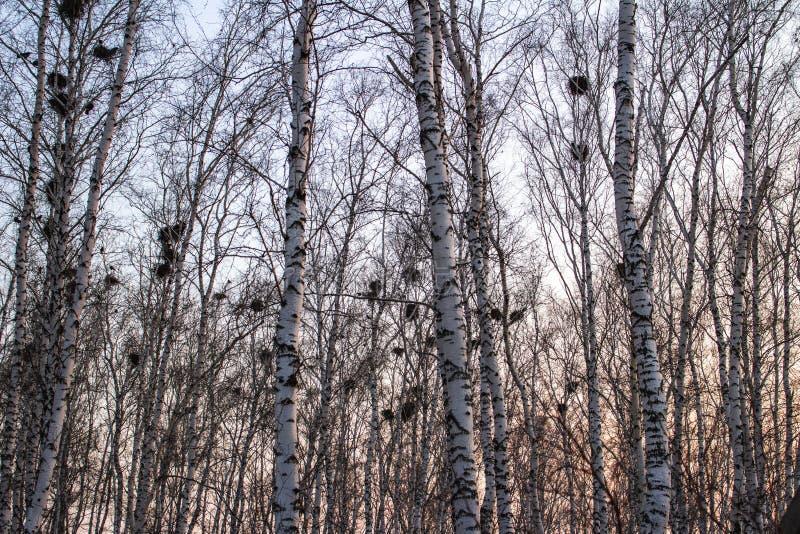 在桦树的乌鸦巢在日落和月亮 免版税库存照片