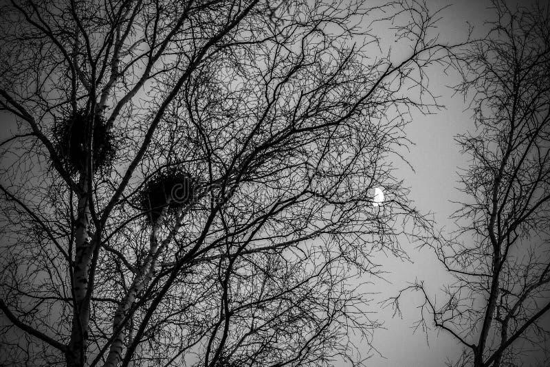在桦树的乌鸦巢在日落和月亮 免版税库存图片