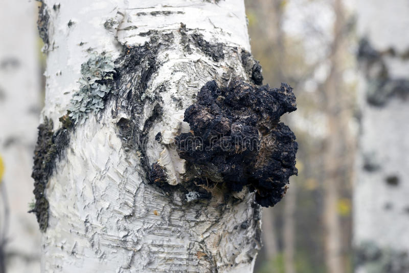 在桦树的成长-医药蘑菇chaga 库存照片