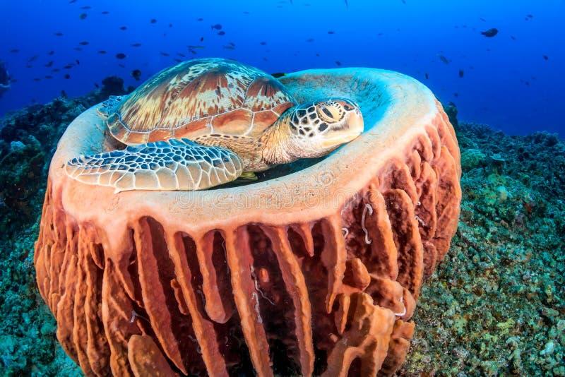 在桶海绵的海龟 库存照片