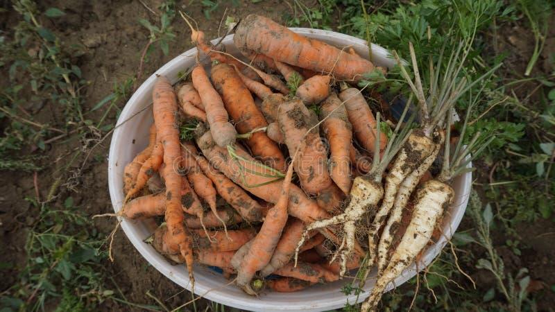 在桶的新鲜的生物红萝卜 库存图片