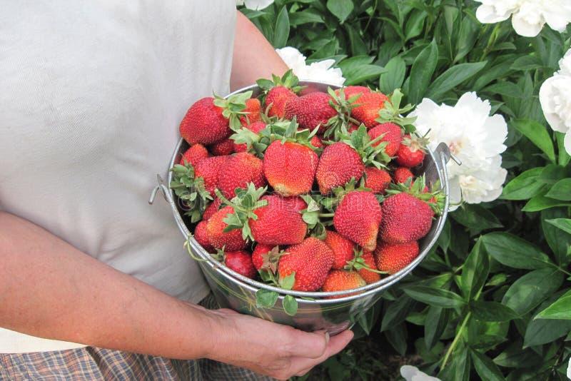 在桶的草莓在白花背景 成熟妇女手拿着家庭菜园夏天收获  库存照片
