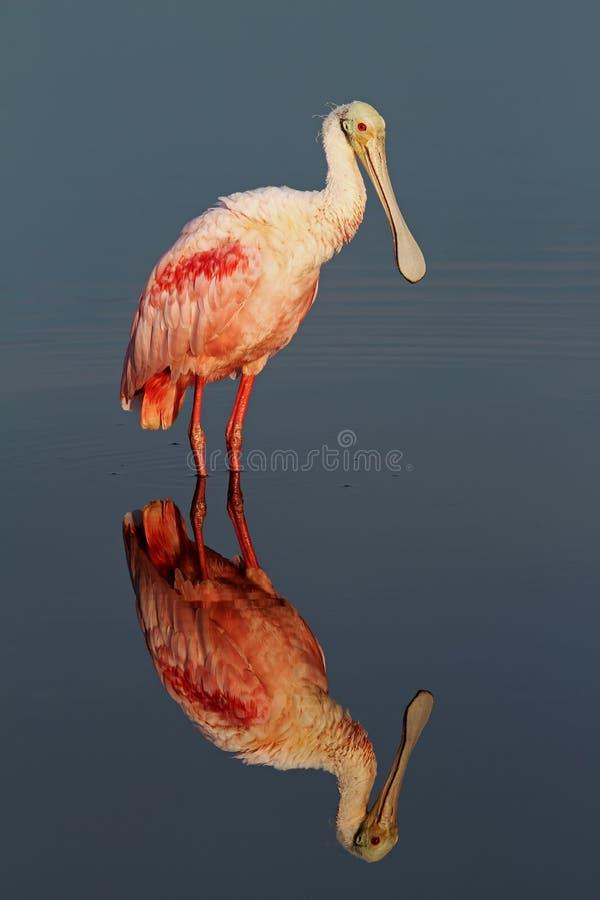 在梅里特岛全国野生生物保护区的粉红琵鹭 库存图片