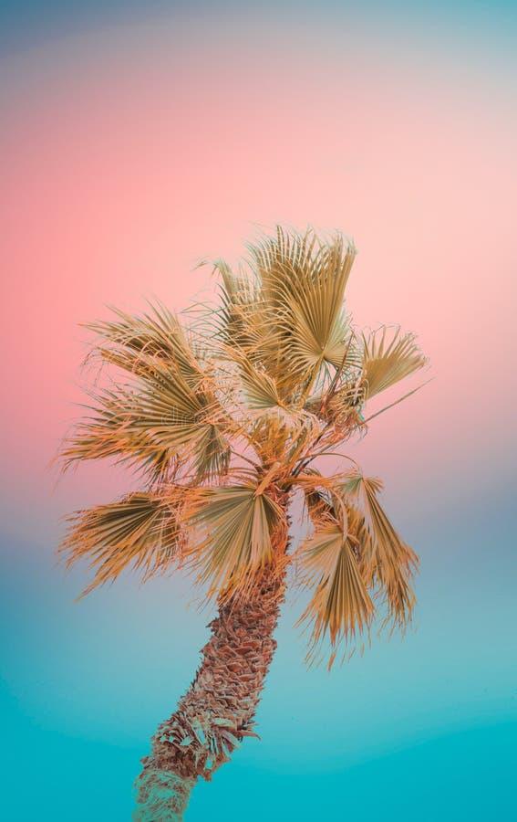 在梯度被定调子的小野鸭蓝色珊瑚桃红色背景的唯一弯曲的棕榈树 质朴超现实主义 单独冻结的结构树 使假期靠岸 库存图片