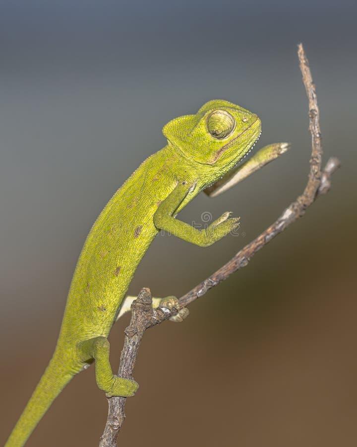 在棍子的非洲变色蜥蜴 图库摄影