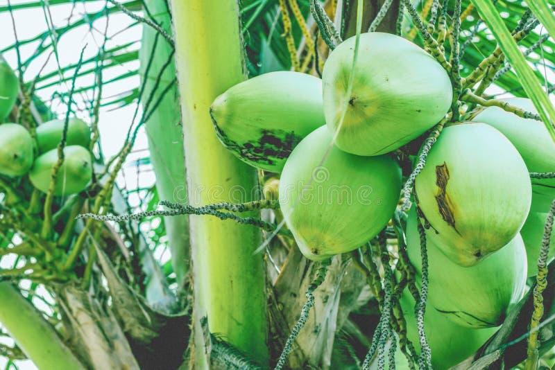 在棕榈分支的椰子果子 免版税库存图片