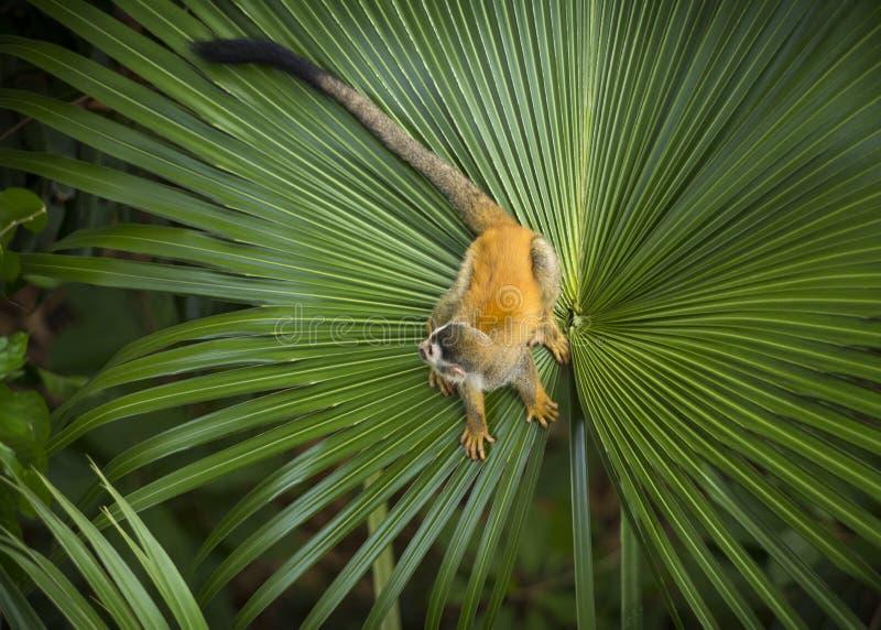 在棕榈叶的松鼠猴子 图库摄影