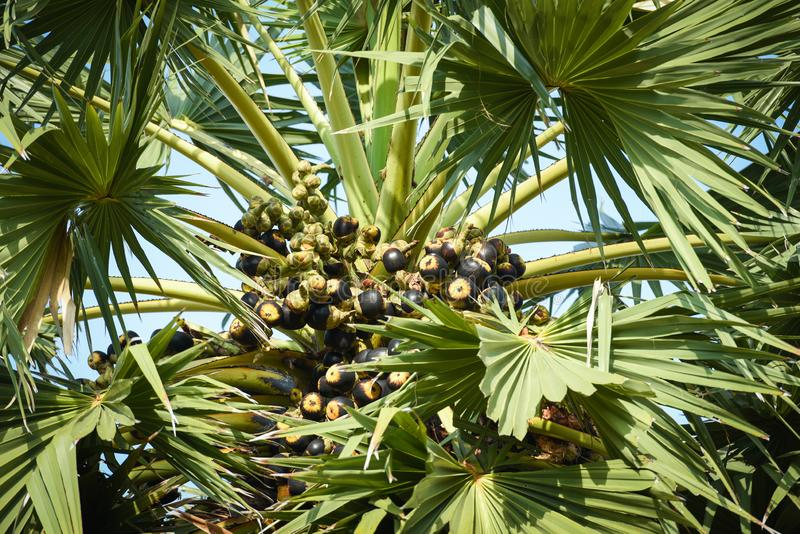 在棕榈树的亚洲扇叶树头榈棕榈果子在庭院里 库存照片