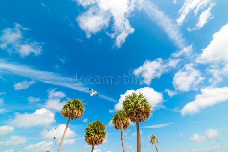 在棕榈树的海鸥飞行在克利尔沃特 库存图片