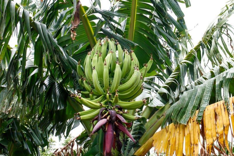 在棕榈树的绿色香蕉 库存照片