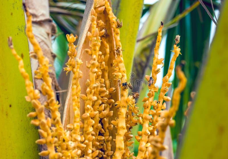 在棕榈树花的蜂 库存照片