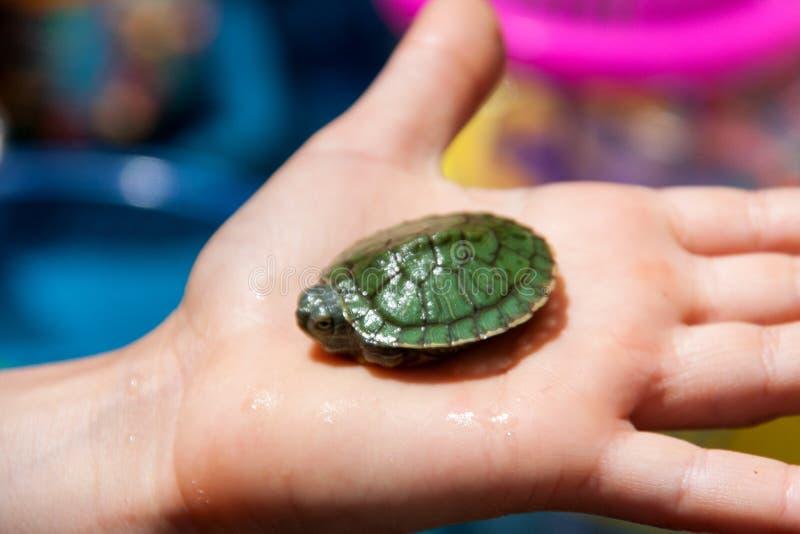 在棕榈特写镜头的一点海龟 免版税库存图片