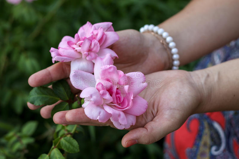 在棕榈的玫瑰 免版税库存照片
