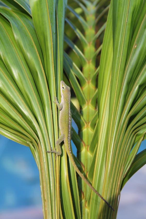 在棕榈2的蜥蜴 库存图片