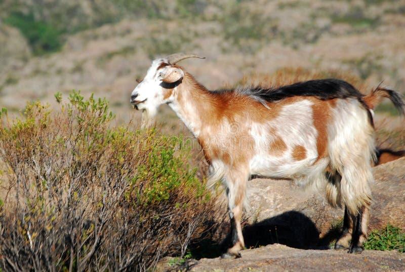 在棕色口气的山羊 免版税库存图片