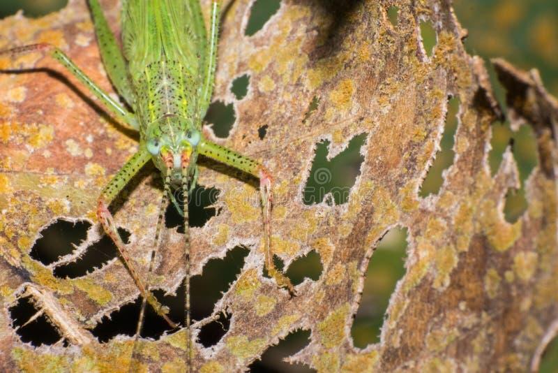 在棕色叶子的绿色蚂蚱 库存照片