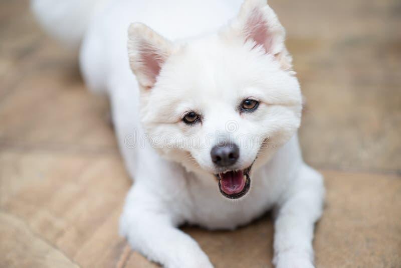 在棕色地板上的白色puppie画象 库存照片