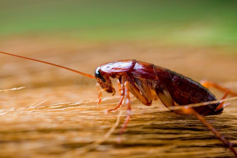 在棕色笤帚的蟑螂有庭院绿色背景 库存照片