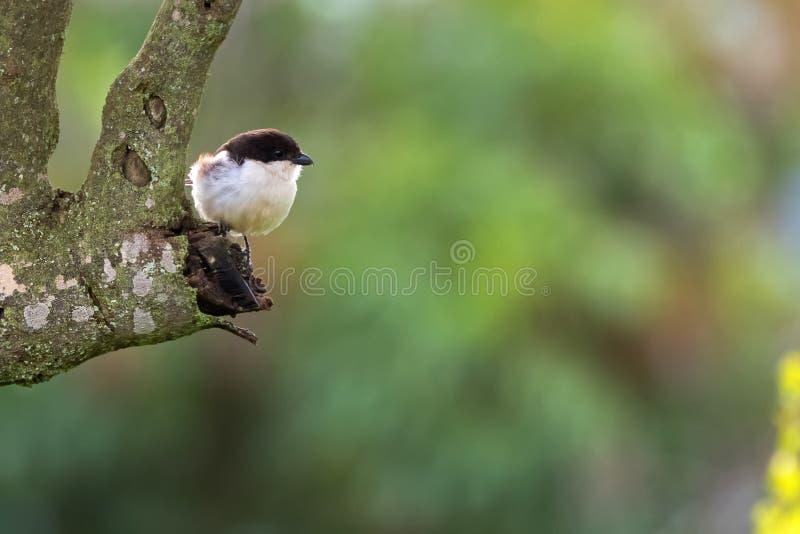 在棕色美洲狼鲈的共同的财政shrike鸟在恩戈罗恩戈罗火山口,坦桑尼亚,非洲的树 库存照片