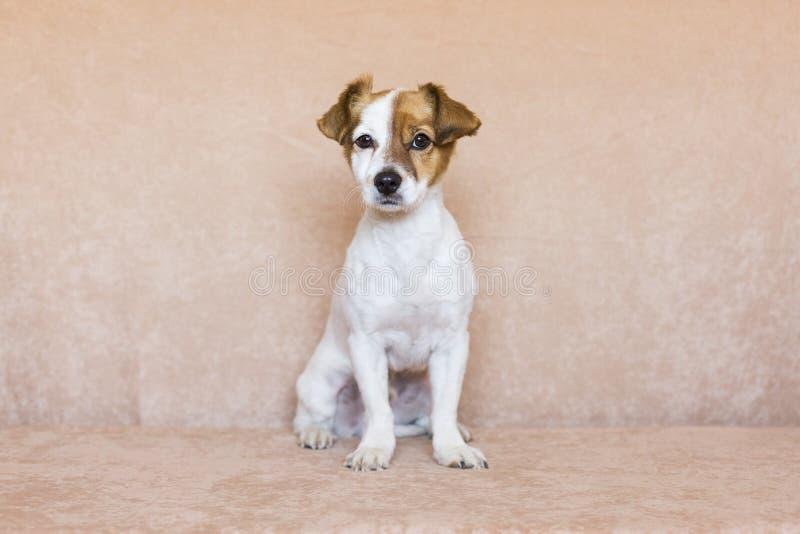 在棕色背景佩带的逗人喜爱的幼小狗 对动物c的爱 图库摄影