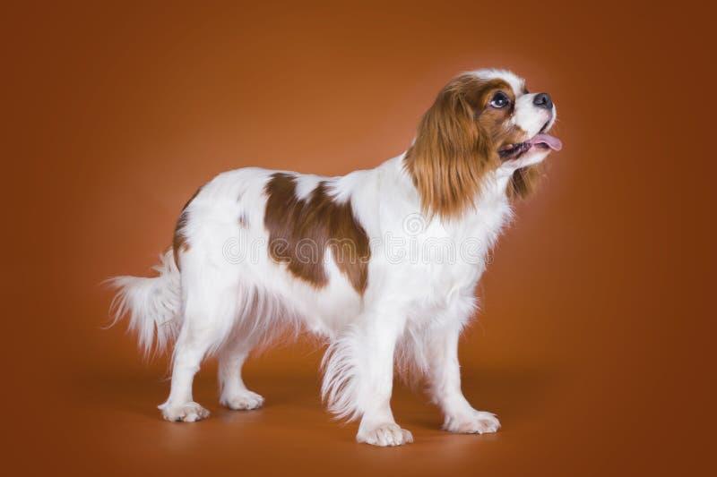 在棕色背景隔绝的小狗骑士国王查尔斯狗 免版税库存图片