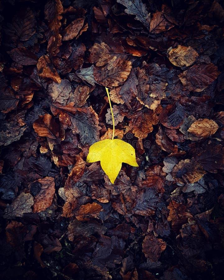 在棕色腐朽的叶子的唯一黄色叶子在秋天 库存图片
