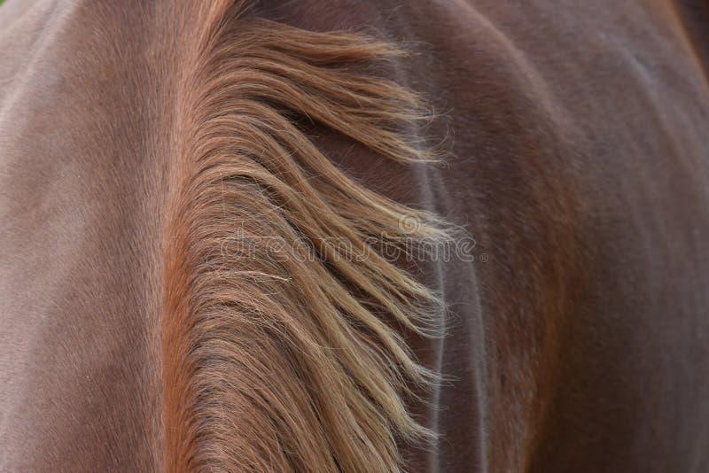 在棕色马的鬃毛 免版税库存照片