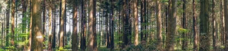 在森林全景风景的杉树 库存照片