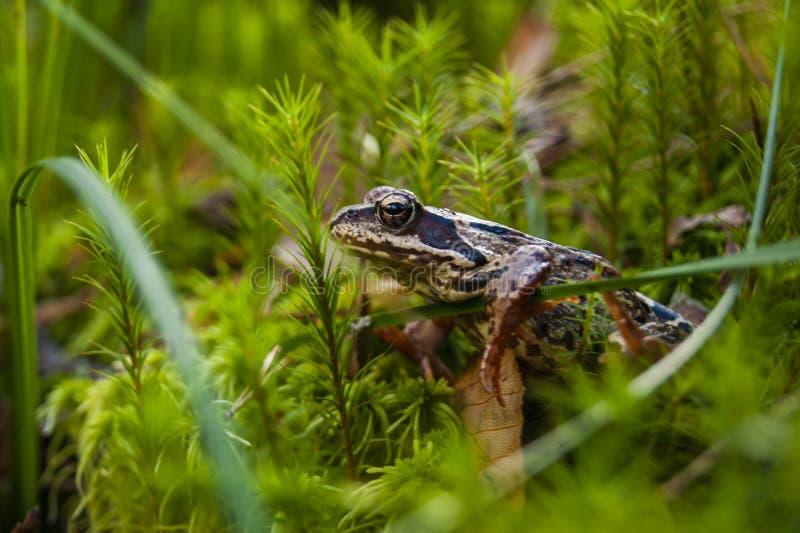 在森林公主Frog的青蛙 库存照片