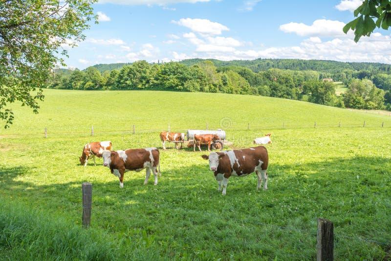 在森林围拢的绿色草地早熟禾的布朗母牛在迪特拉姆斯策尔, Waldweiher,拜仁,德国 免版税库存图片