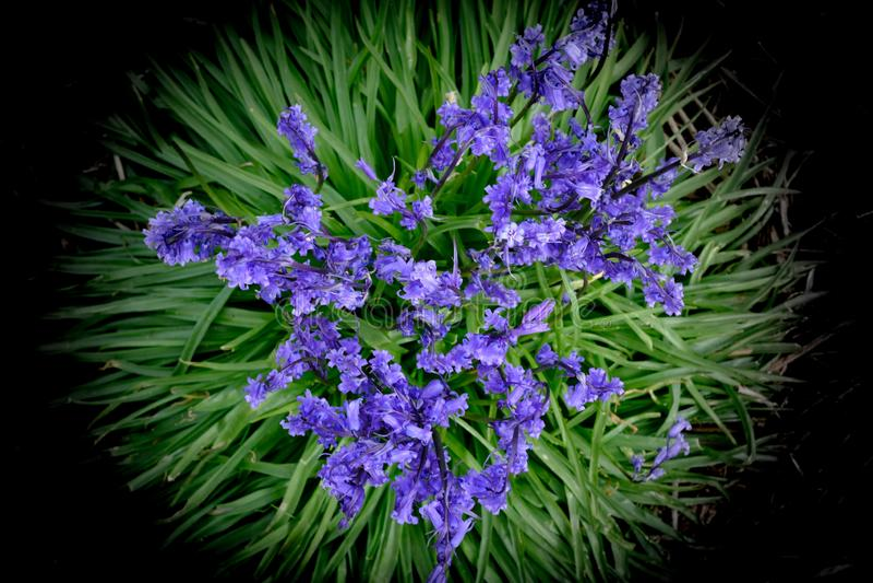 在森林地板上的会开蓝色钟形花的草花 免版税图库摄影