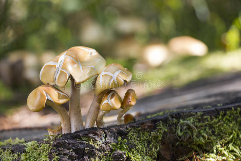 Download 在森林地板上的蘑菇 库存图片. 图片 包括有 楼层, 木头, 宏指令, 森林, 地衣, 下来, 不能吃, 青苔 - 62531283
