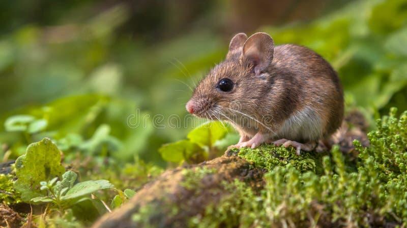 在森林地板上的逗人喜爱的木老鼠 库存照片