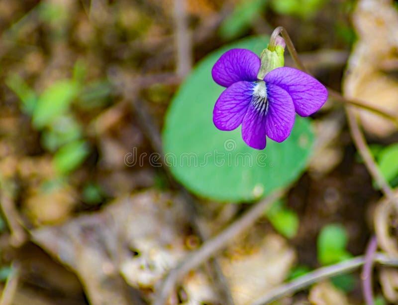 在森林地板上的Birdfoot紫罗兰 免版税库存图片