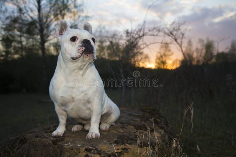 在森林地面的白色法国牛头犬 库存照片