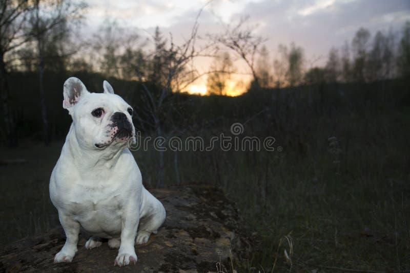 在森林地面的白色法国牛头犬 免版税库存图片