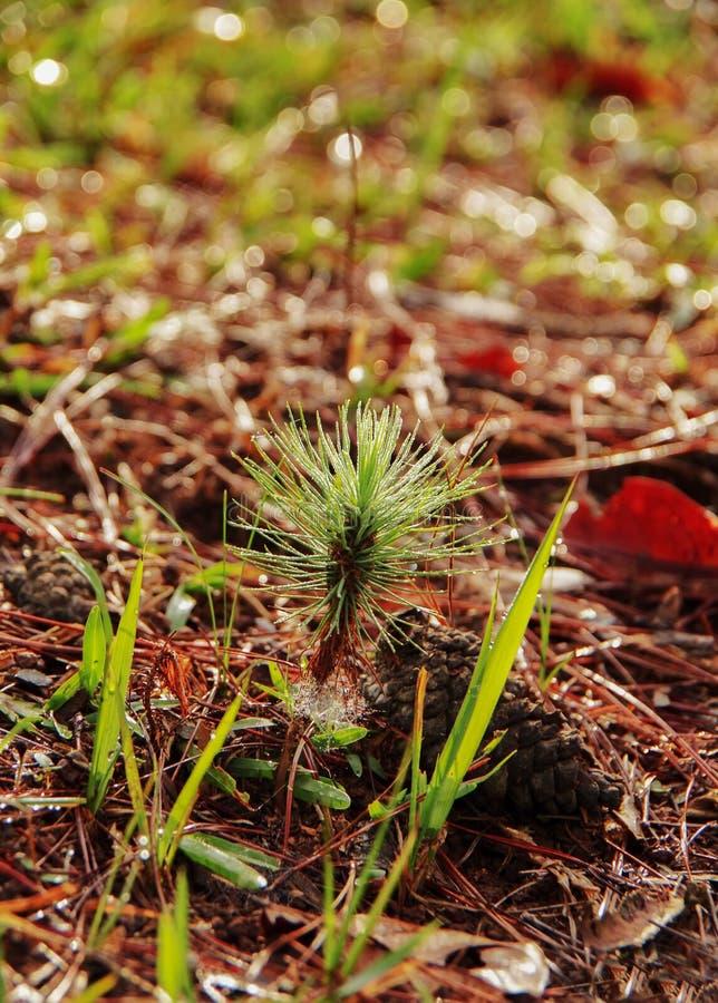在森林增长的小杉树第2部分 库存照片