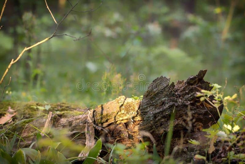 在森林夏天树和叶子的一棵下落的腐烂的树 免版税库存图片