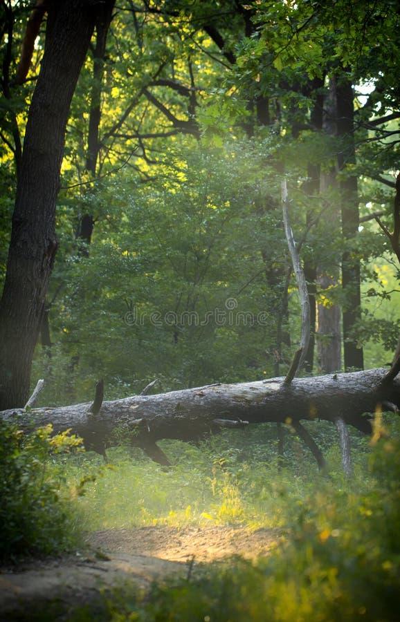 在森林夏天树和叶子的一棵下落的腐烂的树 免版税库存照片