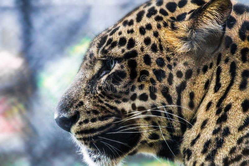在森林夜黑色的cheeta 免版税图库摄影