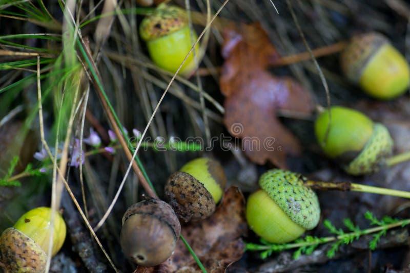 在森林宏指令的下落的橡子 库存图片