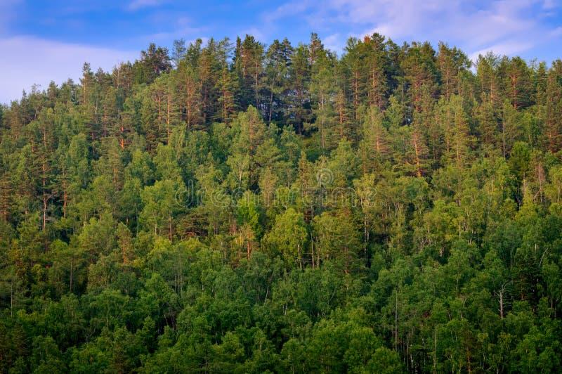 在森林小山顶部的看法在西伯利亚 库存照片