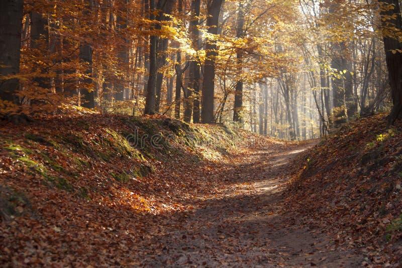 在森林早晨太阳的秋天黎明在秋天公园或森林放光或发出光线 免版税库存图片