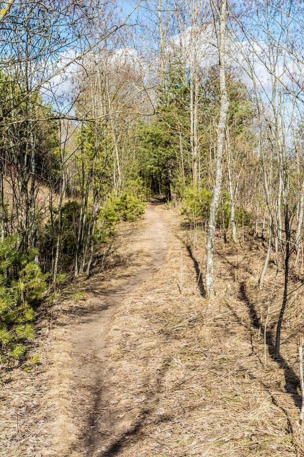 在森林春天风景的足迹与干草和具球果森林 免版税图库摄影