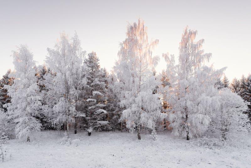 在森林横向射击雪结构树冬天之上 用HoarfrostWinter桦树树丛盖的雪白桦树森林在桃红色口气的日落 少量Winte 图库摄影