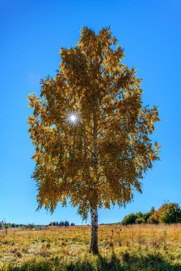 在森林沼地的风景孤立桦树秋天在蓝天背景的晴天与发光与它的阳光的太阳通过yel 库存图片