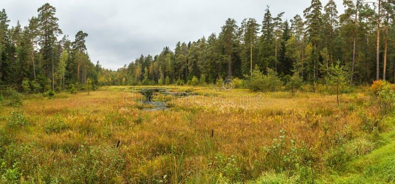在森林沼泽的金黄秋天 库存图片