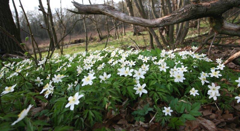 在森林清洁的开花的银莲花属 图库摄影
