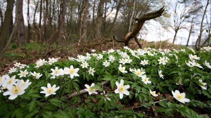 在森林清洁的开花的银莲花属 库存照片